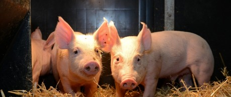 piglets in farm building - credit Roslin Institute