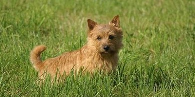 image of a young Norwich Terrier - credit Wikimedia Commons