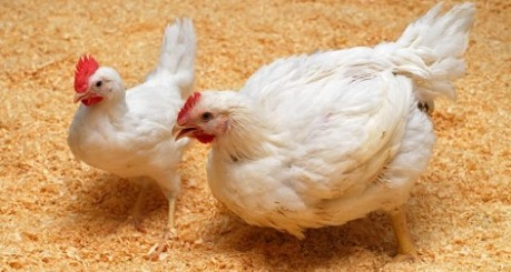 photo of two chickens - credit The Roslin Institute