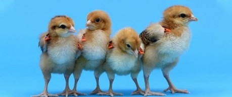image of chicks - credit The Roslin Institute