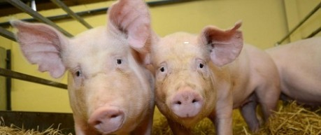 image of 2 pigs in farm building - credit Roslin Institute