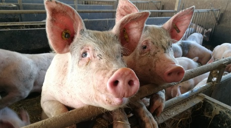 image of farm pigs in pen - credit SRUC