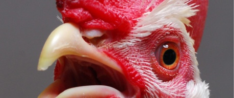 photo close up of hen - credit The Roslin Institute